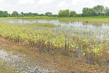 Quarter of state's corn, beans are in poor shape from excessive rain